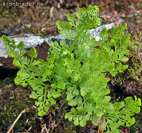 Hestespreng Cryptogramma crispa Parsley Fern Hestespreng