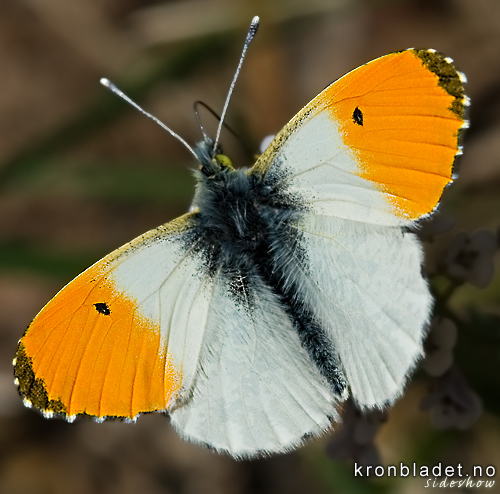 Aurorasommerfugl (Anthocharis cardamines), hann Orange Tip (Anthocharis cardamines), male