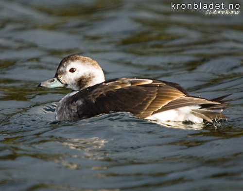 Havelle (Clangula hyemalis), ho i vinterdrakt Long-tailed Duck(Clangula hyemalis), female in winter plumage
