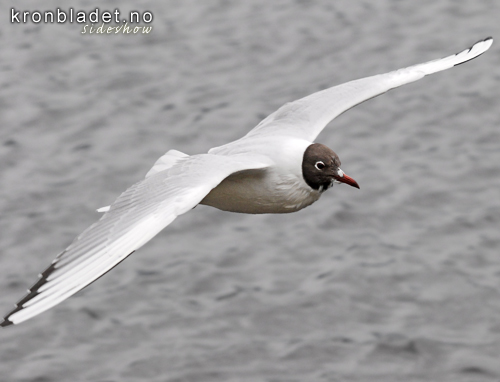 Hettemåse (Larus ridibundus) - Hettemåke Black-headed Gull (Larus ridibundus)