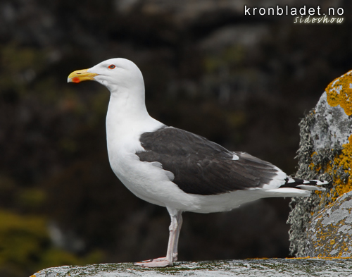 Svartbak (Larus marinus) Great Black-backed Gull (Larus marinus)