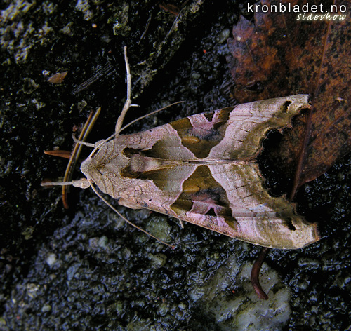 Taggvingefly (Phlogophora meticulosa), overside Angle Shades Moth (Phlogophora meticulosa), dorsal view